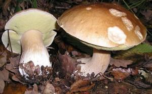 Белый гриб (лат. Boletus edulis), или боровик (сокращённо: белый) — гриб из рода Боровик