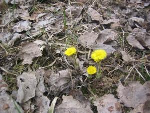 Первые цветы весны – Мать и мачеха