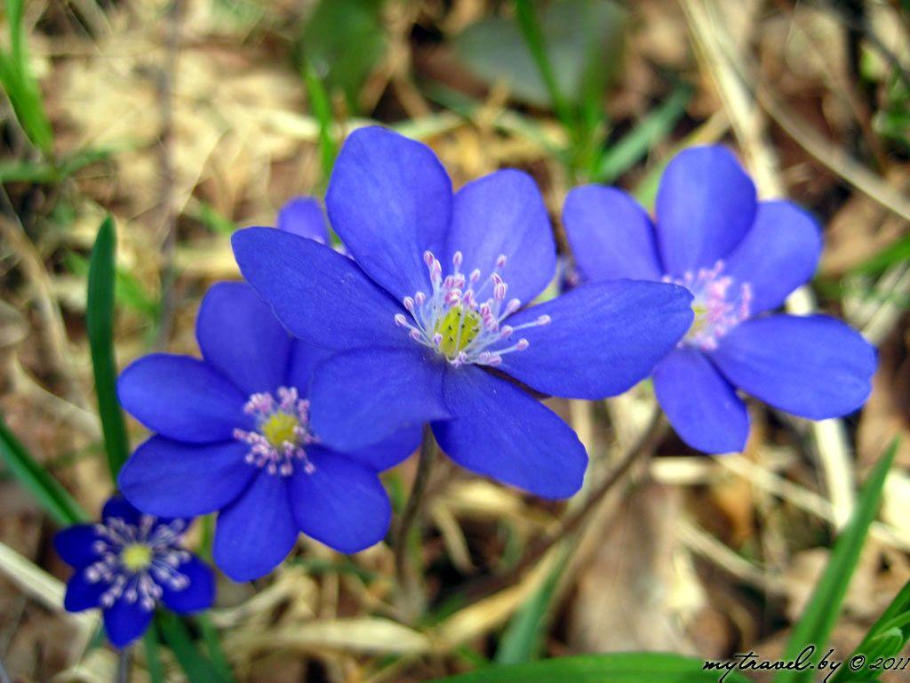 Название синий лесной цветок