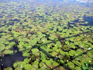 Заросшее кувшинками озеро